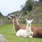 Spanish Courses Peru Llamas